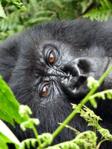 Blog-RuandaGorilSafari3