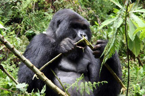Blog-RuandaGorilSafari8